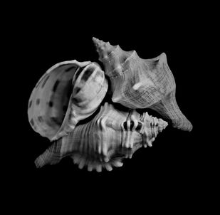 Seashells No. 25 by M. Shafiq, Image Photography, Digital Print on Archival Paper, Cod Gray color