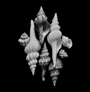 Seashells No. 29 by M. Shafiq, Image Photography, Digital Print on Archival Paper, Black color