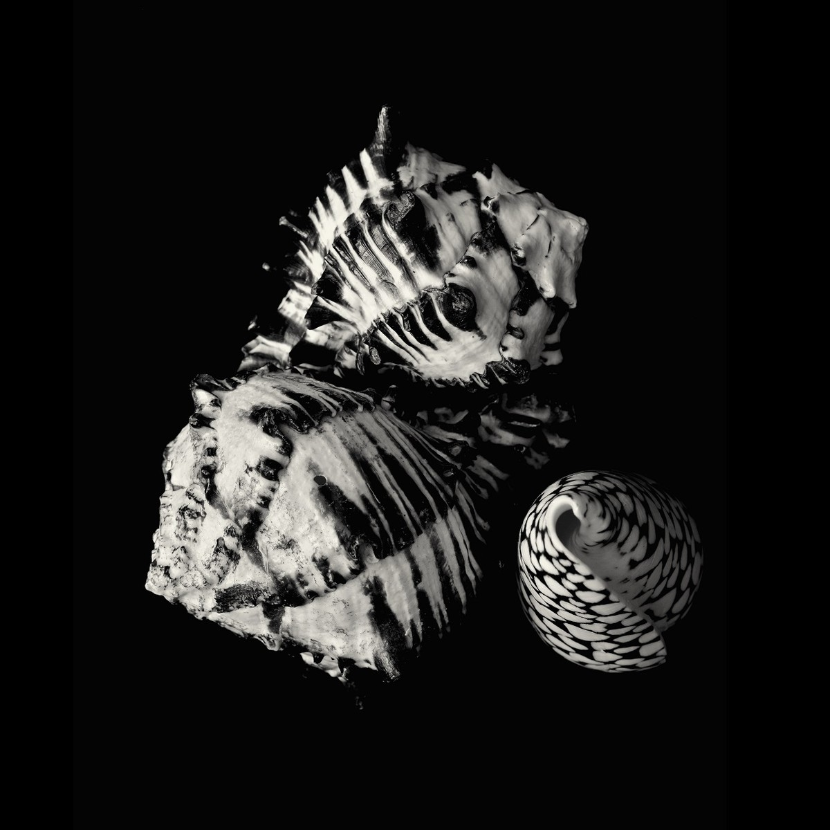 Seashells No. 35 by M. Shafiq, Image Photography, Digital Print on Archival Paper, Cotton Seed color