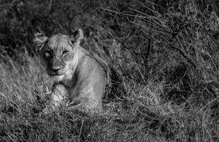Alpha Female of Masai Mara Digital Print by SRIJAN NANDAN,Image