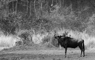 Hunter and the hunted- Masai Mara Digital Print by SRIJAN NANDAN,Image