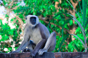 Monkey with long tail by Arif Amin, Digital Photography, Digital Print on Paper, Green color