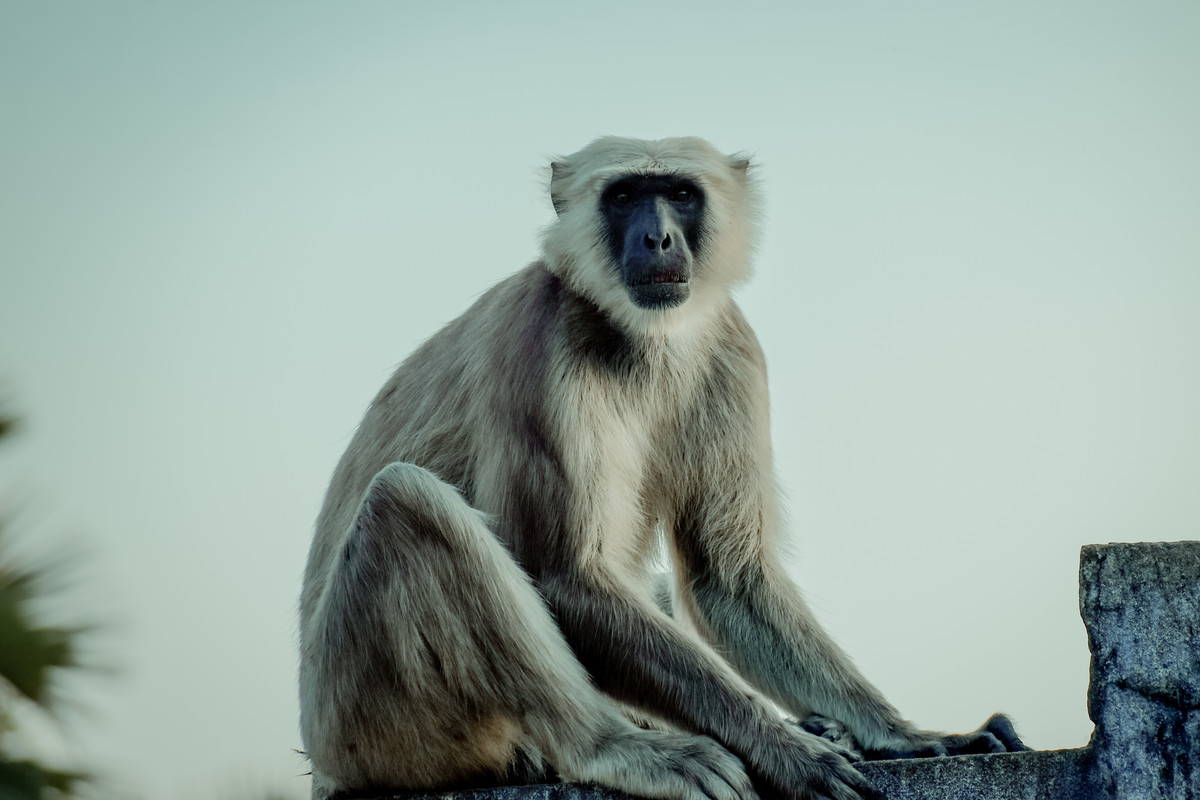 Monkey with long tail by Arif Amin, Digital Photography, Digital Print on Paper, Silver color