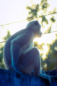 Monkey with long tail by Arif Amin, Digital Photography, Digital Print on Paper, Gray color