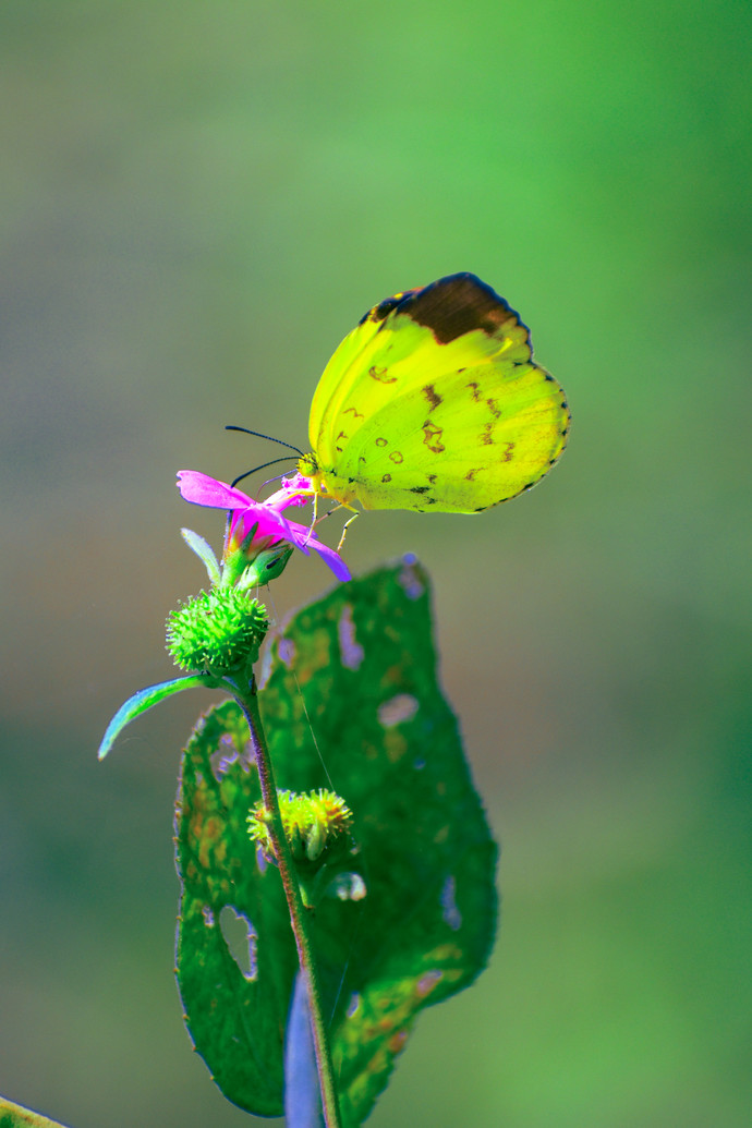 Red blossom flowear eat yellow butterfly eurema hecabe by Arif Amin, Digital Photography, Digital Print on Paper, Olive color