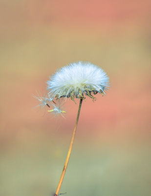 Common Dandelion flower silver-tufted fruits that disperse in the wind. by Arif Amin, Digital Photography, Digital Print on Paper, Orange color